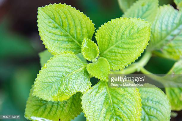 Oregano or Pot Marjoram in Cuban backyard The plant is used for various medicinal remedies