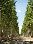 USA, Oregon, Boardman, Orderly rows of poplar trees in tree farm