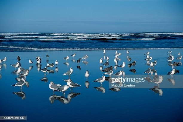 USA, Oregon, Ecola Creek, seagulls on Cannon Beach