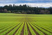 USA, Oregon, Polk County, Garlic row