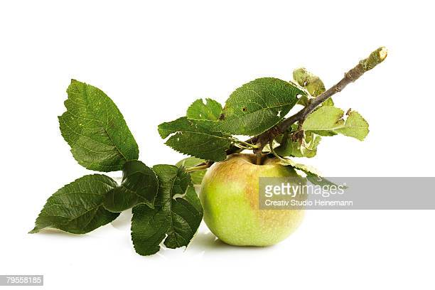 Organic apple on a bough