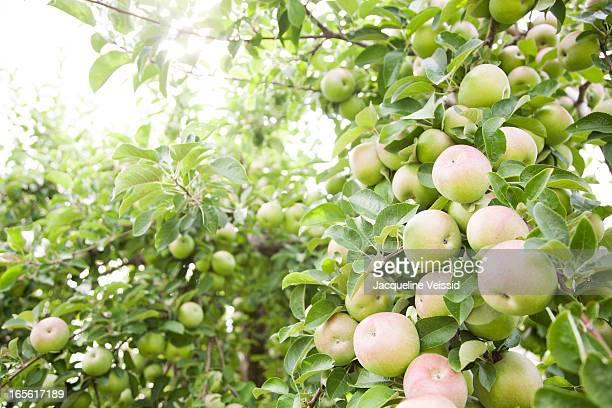 Organic apples growing in tree