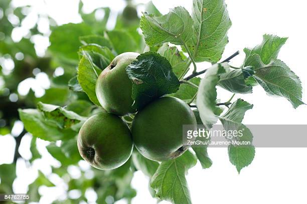 Organic apples hanging from tree branch