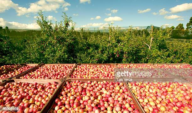 Organic Apples have just been harvested