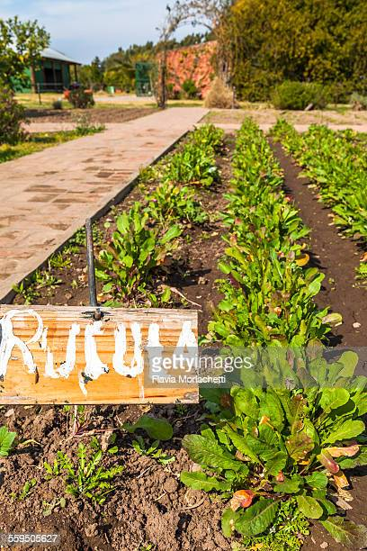 Organic arugula (rúcula in spanish)