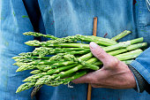 Photo of a farmer holding a freshly cut bunch of organic asparagus in his hand. The piece of cane is his hand shows the minimum length that the asparagus must reach before they are harvested. The focu