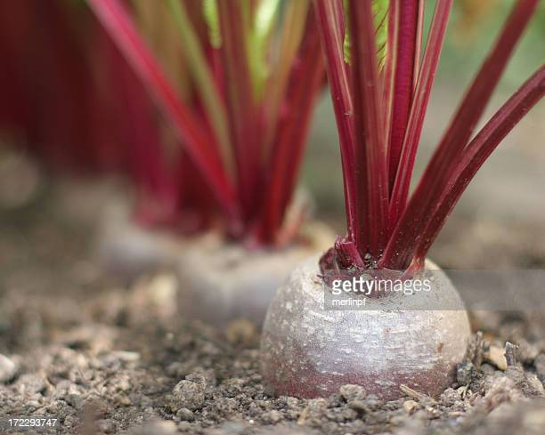 Organic Barbabietola