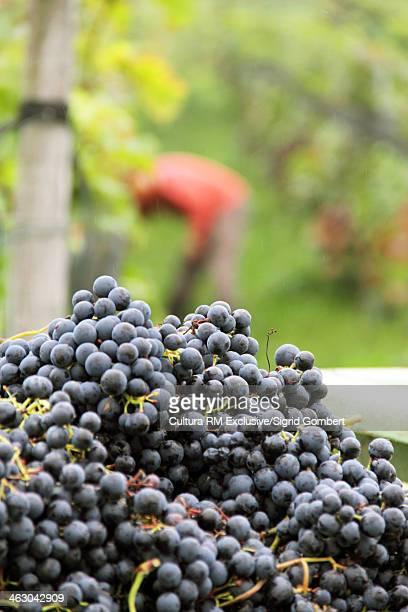 Organic black grapes harvested at vineyard
