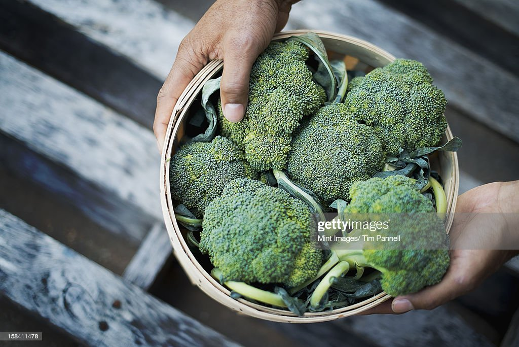 Organic Broccoli just harvested : Stock Photo