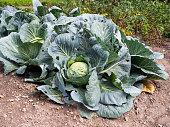 Organic cabbage in the farm