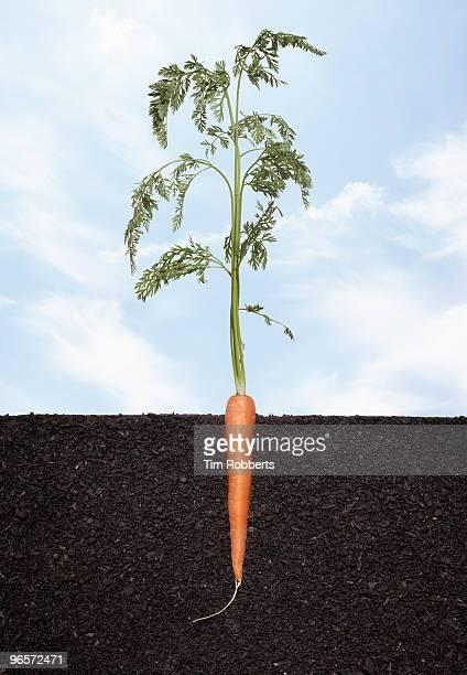 Organic carrot growing in soil.