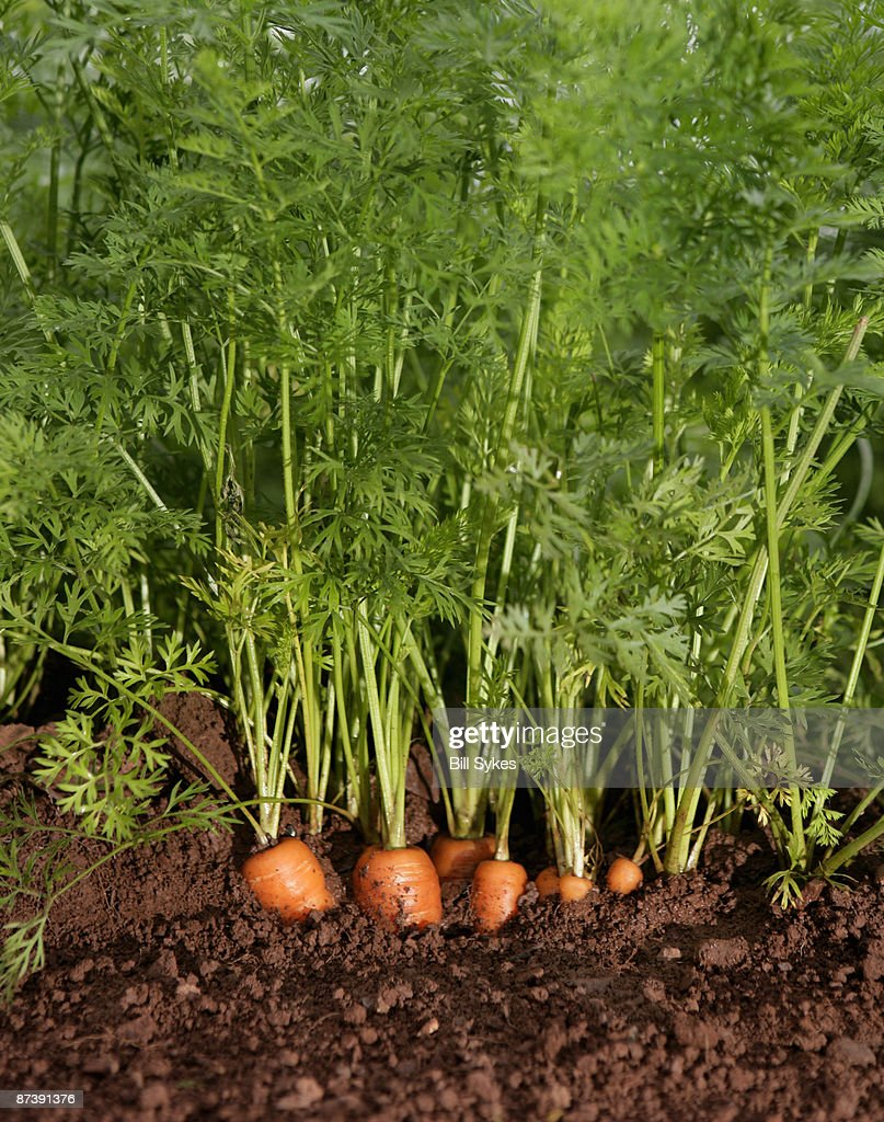 organic carrots growing : Stock Photo