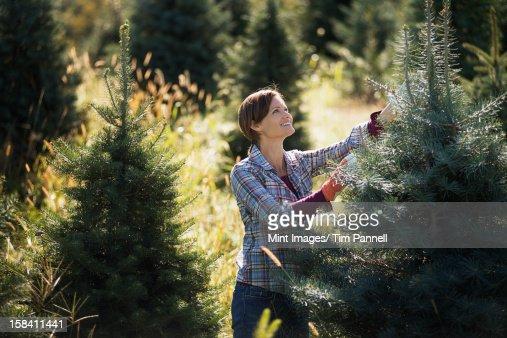 Organic árvores de Natal em uma Plantação, ser removidas com uma mulher
