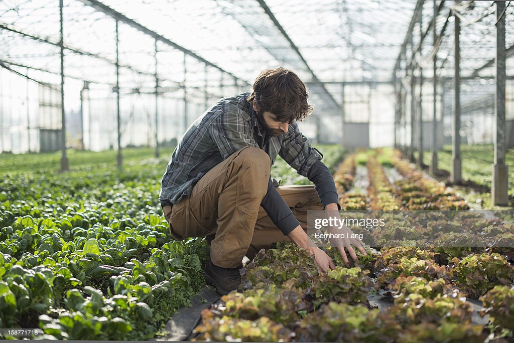 Organic farmer on a sustainable farm in greenhouse
