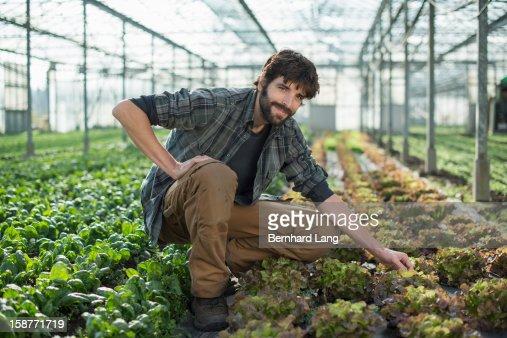 Organic farmer on salad field in greenhouse : Foto de stock