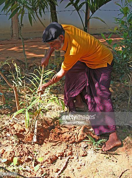 Organic farmer Sebastian is digging for roots of fresh ginger in his tropical aroma spice garden in Kumily on January 06 2010 in Kumily near...