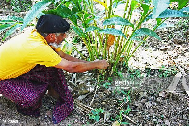 Organic farmer Sebastian is picking cardamom from the plant in a tropical aroma spice garden in Kumily on January 06 2010 in Kumily near Trivandrum...