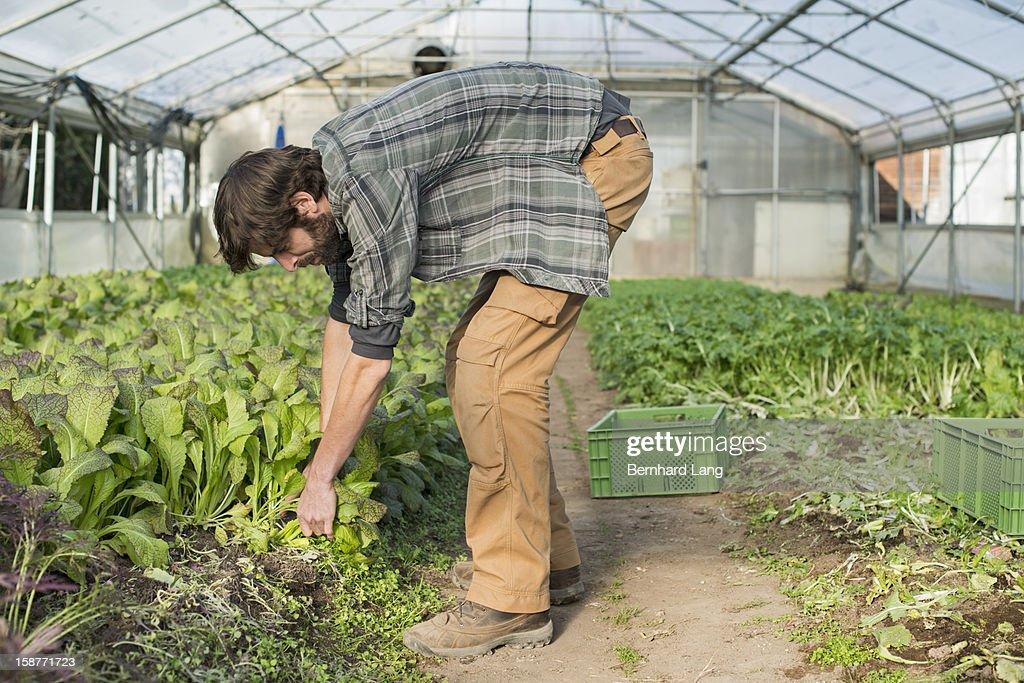 Organic farmer working in greenhouse : Stock Photo