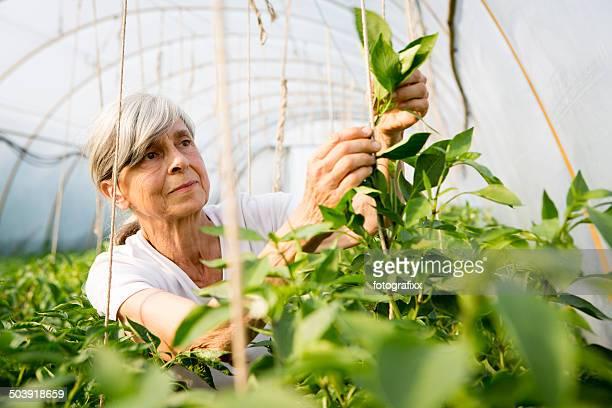 Biologische Landwirtschaft-Frau Pflanzen im Gewächshaus