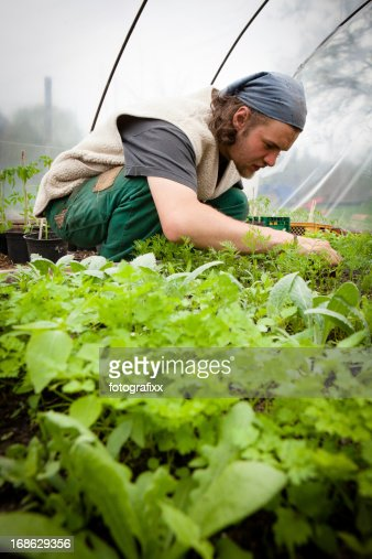 Organic farming: young farmer works at tomato plants in greenhouse