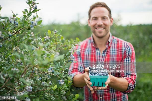 Organic fruit orchard. A man picking  blueberries,Cyanococcus,fruit.
