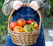 Organic Gardening, Child Gardener Holds Basket of Vegetables & Fruit Tomatoes