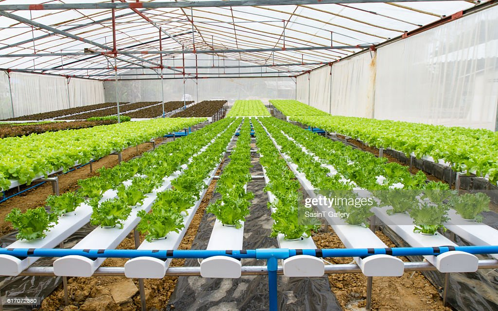 Organic hydroponic vegetable farm : Stock Photo