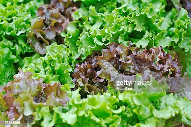 Alface orgânico no Mercado de Produtos Agrícolas