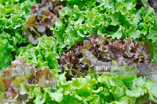 Organic Lettuce at the Farmer's Market