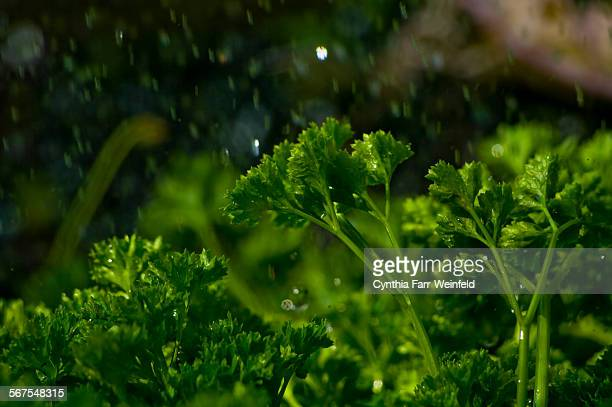 Organic Parsley in the Rain
