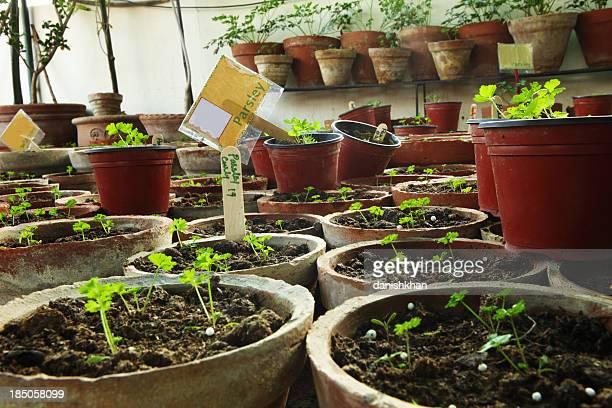 Organic Parsley seedlings in Herbs Terrace Garden
