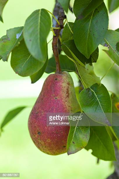 Organic pear on the tree, close-up
