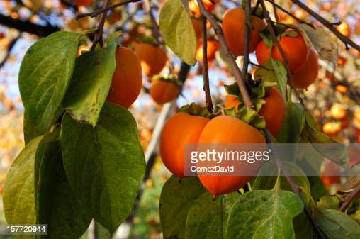 kaki bio fruits sur larbre branche photo getty images. Black Bedroom Furniture Sets. Home Design Ideas
