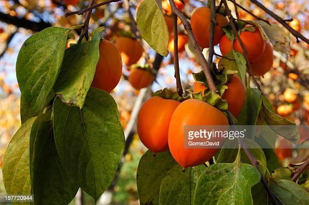 Persimmon frutta biologica nel ramo della struttura ad albero