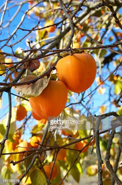 Organic Persimmon Fruit On Tree Branch