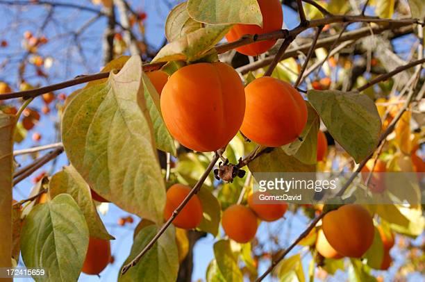 オーガニックフルーツ木の枝にパーシモン