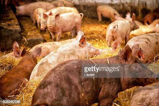 Organic Pig Farming. : Stock Photo