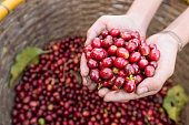 organic red cherries coffee beans in hands
