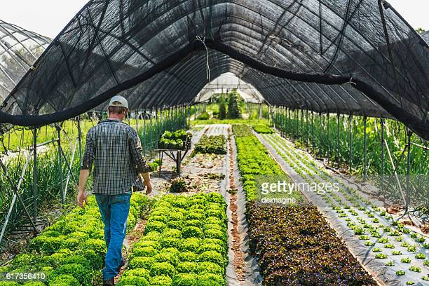 Organic Salad greenhouse harvesting