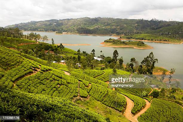 organic tea crop plantation sri lanka