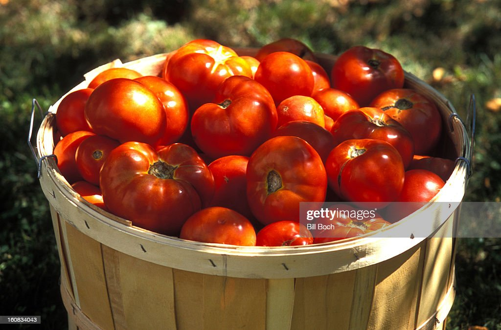 Organic tomatoes in a basket in garden : Stock Photo