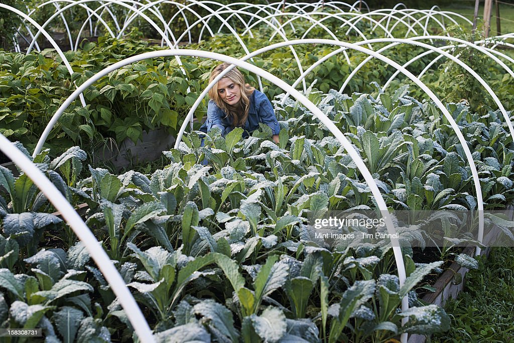 Organic Vegetable Garden. A woman working in among the vegetable beds. : Stock Photo