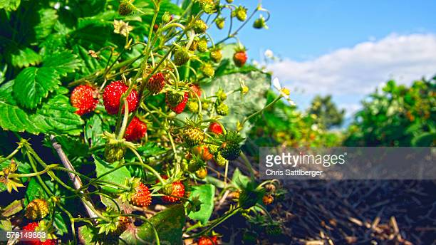 Organic woodland strawberries in field