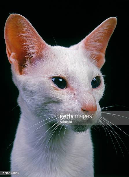 Oriental cat Felis catus portrait Studio photograph