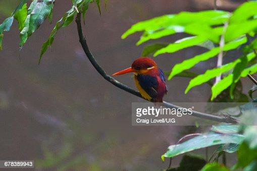 Oriental Dwarf Kingfisher, Borneo