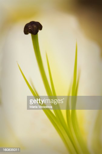 Oriental Lily Flower Close-up