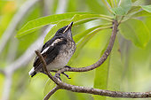 Closeup of juvenile  songbird    perching on branch of Fairy petticoats with blurred background ,low angle view.