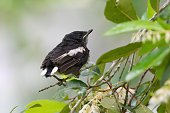Closeup of juvenile  songbird    perching on branch of Fairy petticoats ,over shoulder shot.