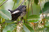 Closeup of juvenile  songbird    perching on white flower of Fairy petticoats lifting tail up,over shoulder shot.