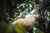 Oriental magpie-roin
